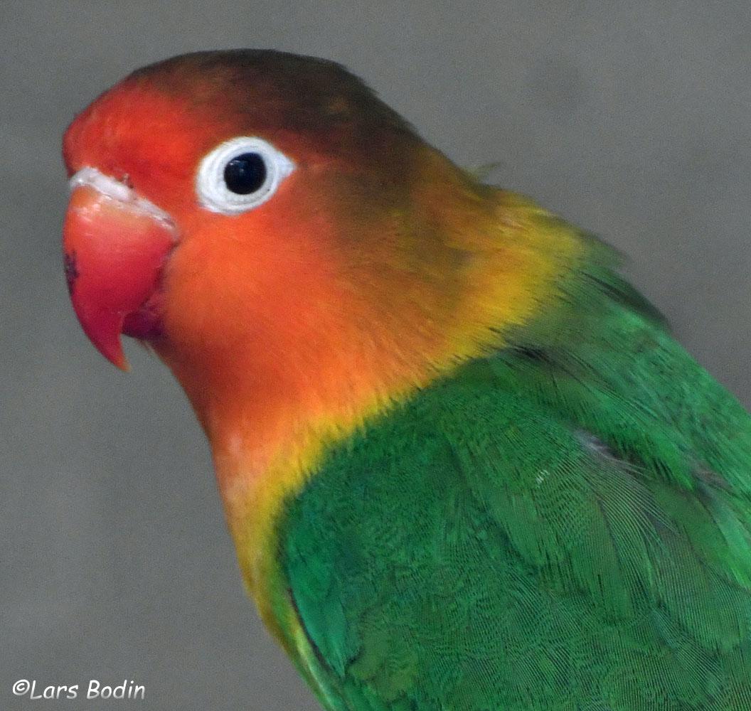 Fischer's Lovebird. Copyright © Lars Bodin