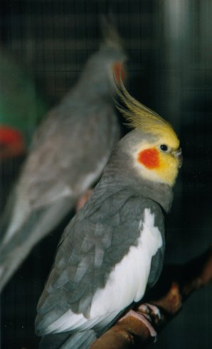 Nymphicus hollandicus - Cockatiel.