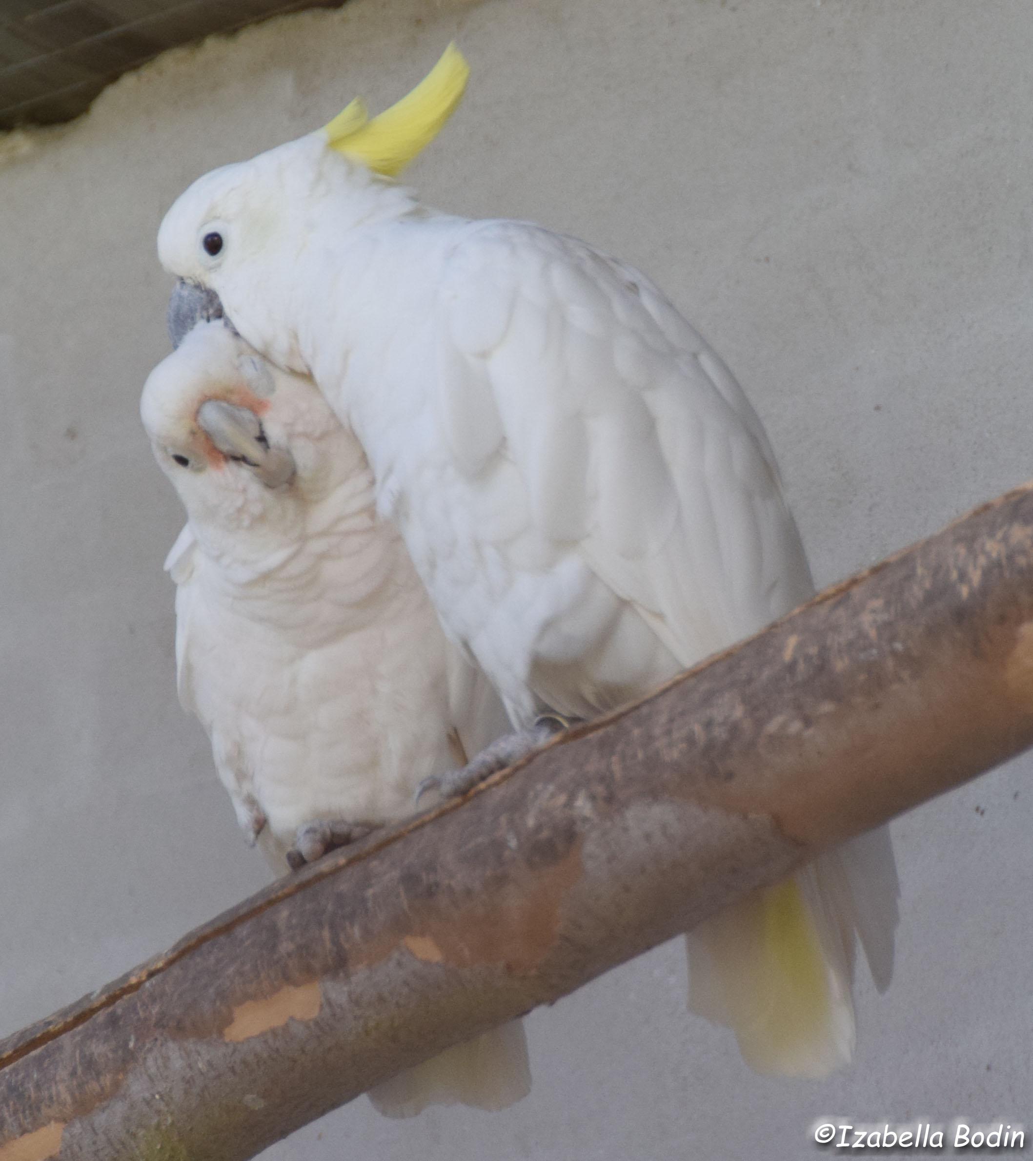 Tanimbar Corella & Sulphur-crested Cockatoo - Copyright © Izabella Bodin