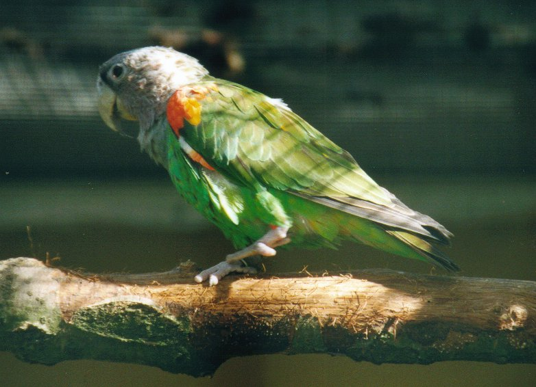 Brown-necked Parrot. Copyright © Lars Bodin