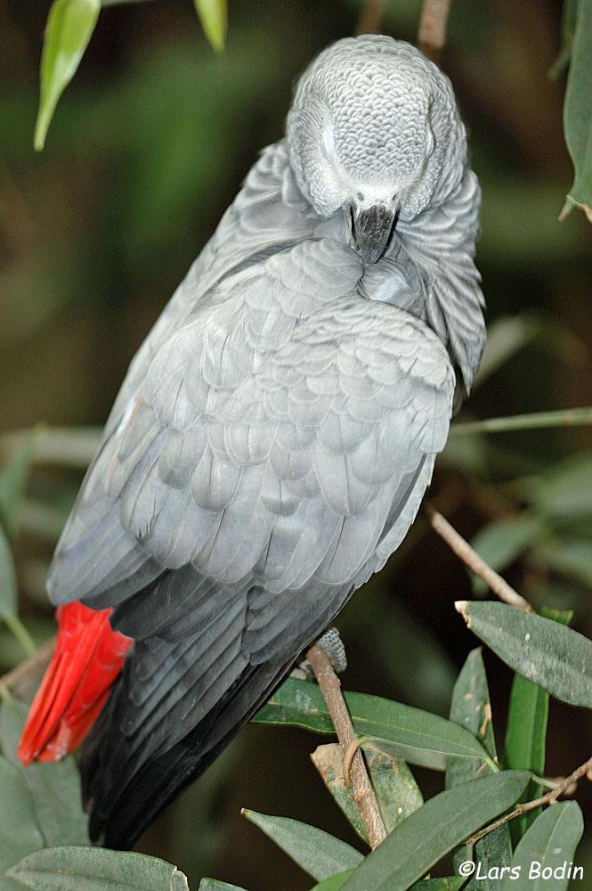 Psittacus erithacus - Grey Parrot. Copyright © Lars Bodin