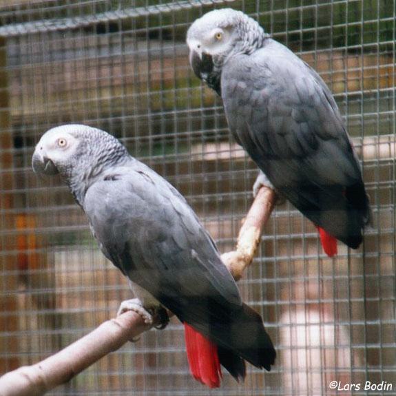 Grey Parrot. Copyright © Lars Bodin