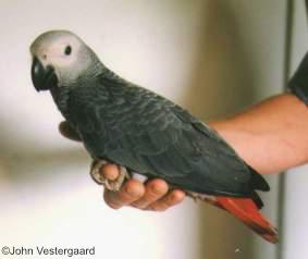 Psittacus erithacus - Grey Parrot. Copyright © John Vestergaard