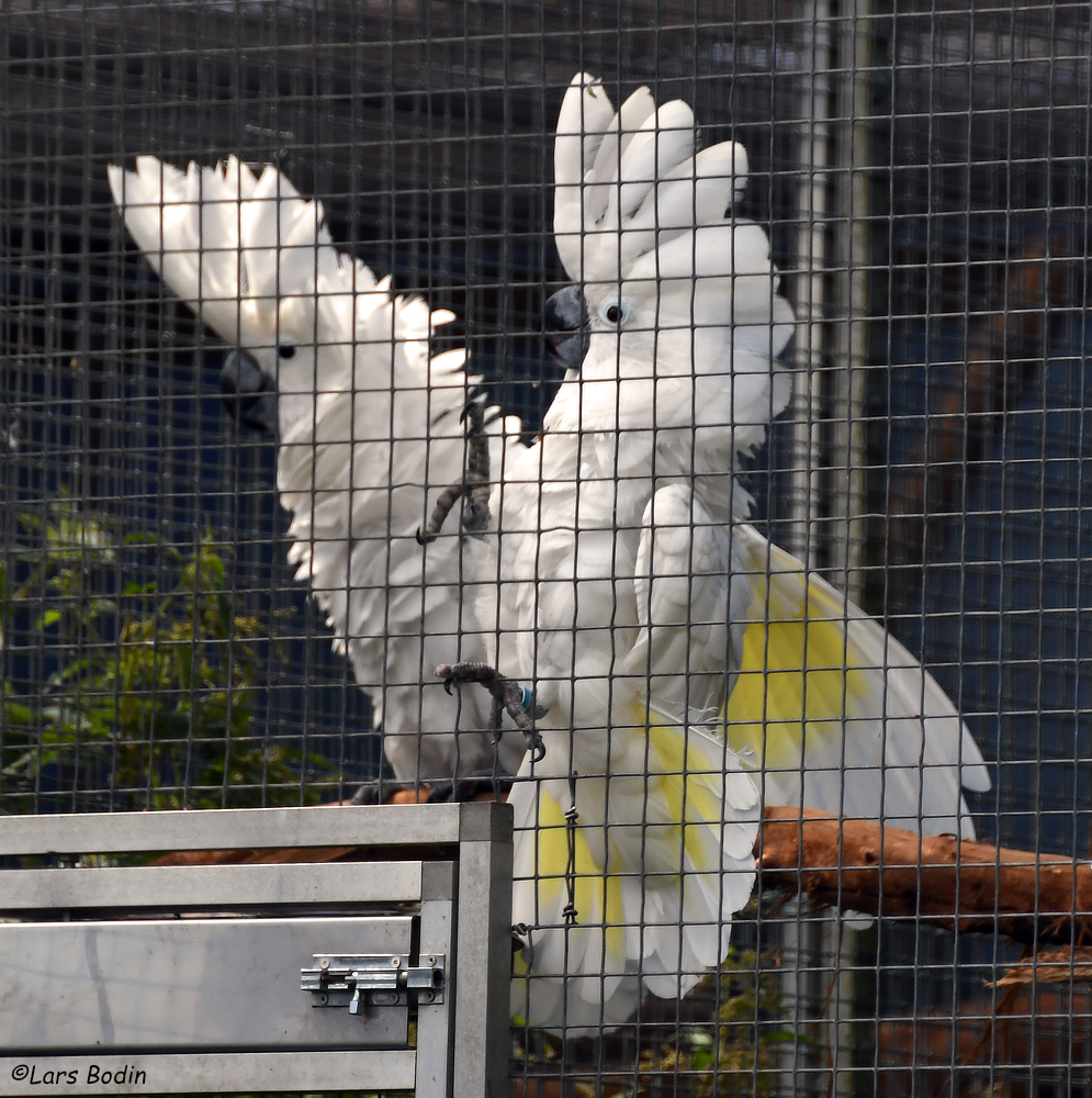 Cacatua alba - White Cockatoo. Copyright © Lars Bodin