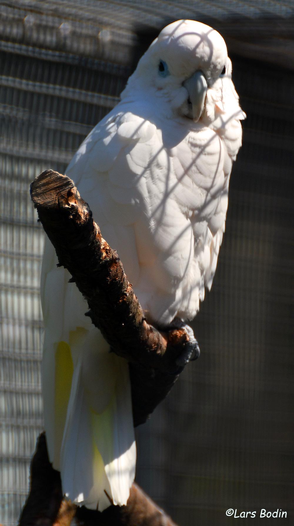 Cacatua ducorpsii - Solomons Cockatoo. Copyright © Lars Bodin