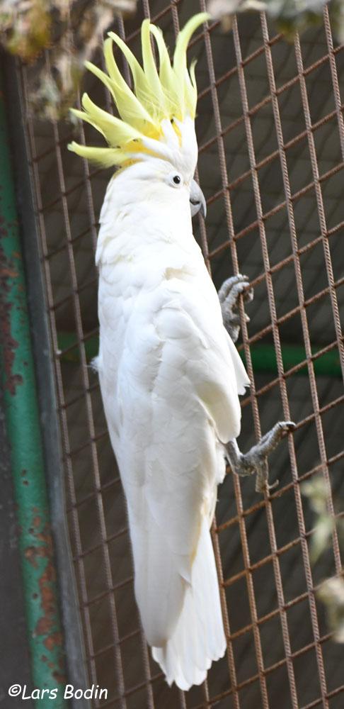 Cacatua galerita galerita - Greater Sulphur-crested Cockatoo. Copyright © Lars Bodin