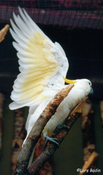 Cacatua galerita triton - Triton Cockatoo. Copyright © Lars Bodin