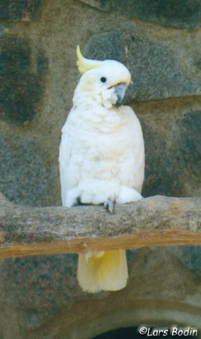 Cacatua sulphurea - Yellow-crested Cockatoo. Copyright © Lars Bodin
