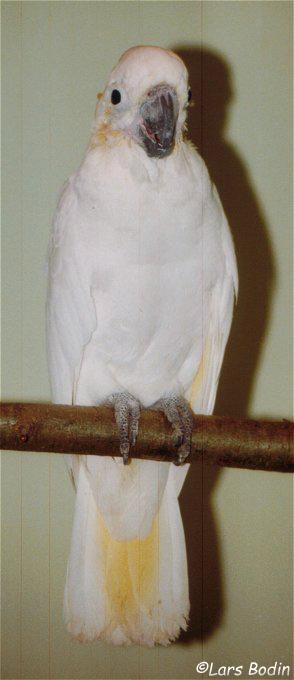 Cacatua sulphurea parvula - Yellow-crested Cockatoo. Copyright © Lars Bodin