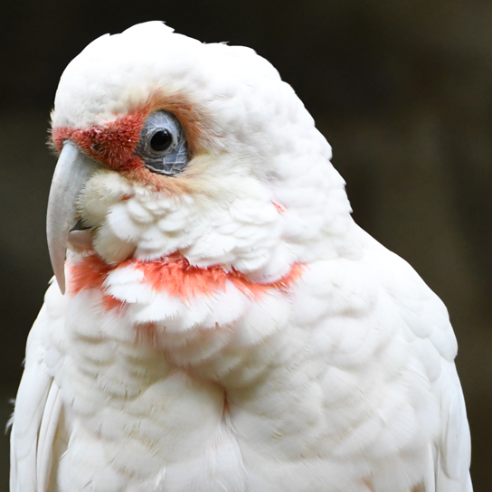 Long-billed Corella. Copyright © Lars Bodin