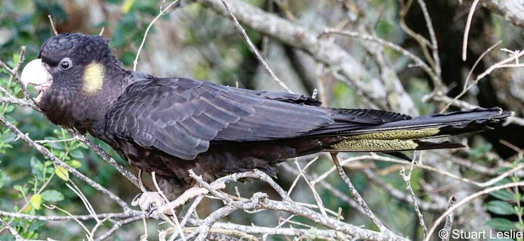 Zanda funerea - Yellow-tailed Black Cockatoo. Copyright © Stuart Leslie