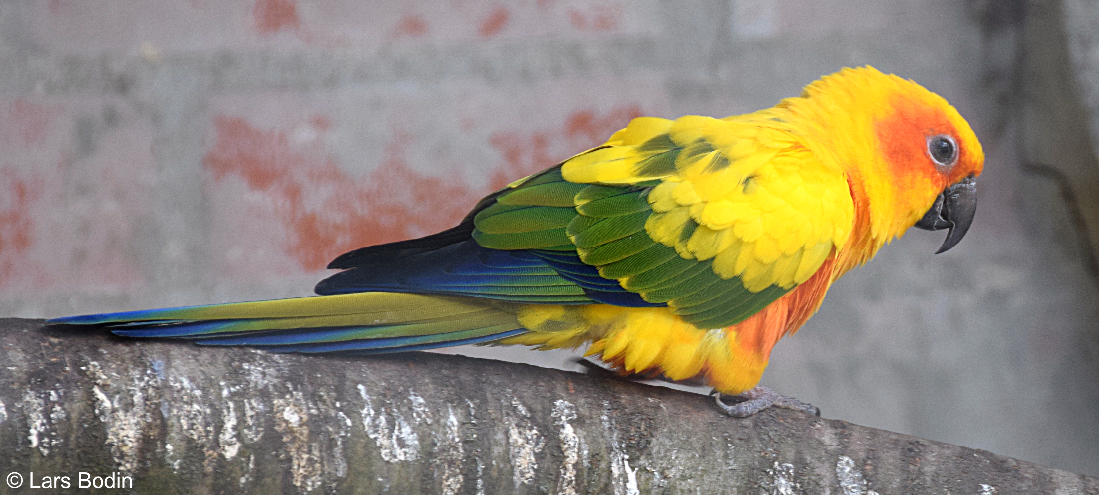 Aratinga solstitialis - Sun Parakeet. Copyright © Lars Bodin