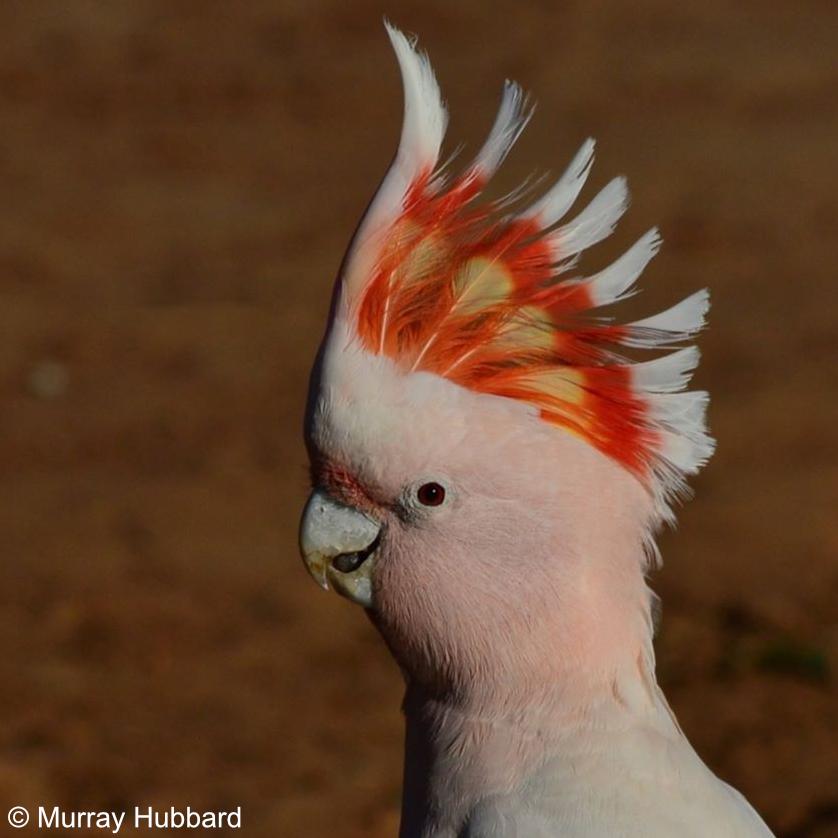 Lophochroa leadbeateri - Major Mitchell's Cockatoo. Copyright © Murray Hubbard