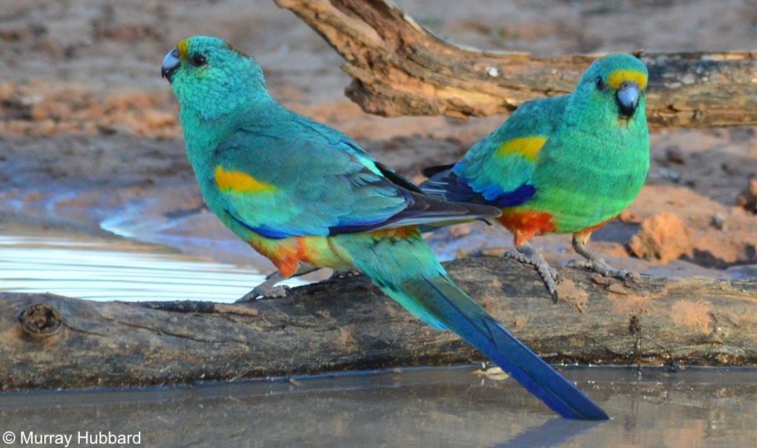 Psephotellus varius – Mulga Parrot. Copyright © Murray Hubbard