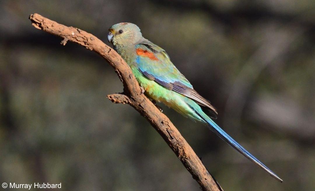 Psephotellus varius - Mulga Parrot. Copyright © Murray Hubbard