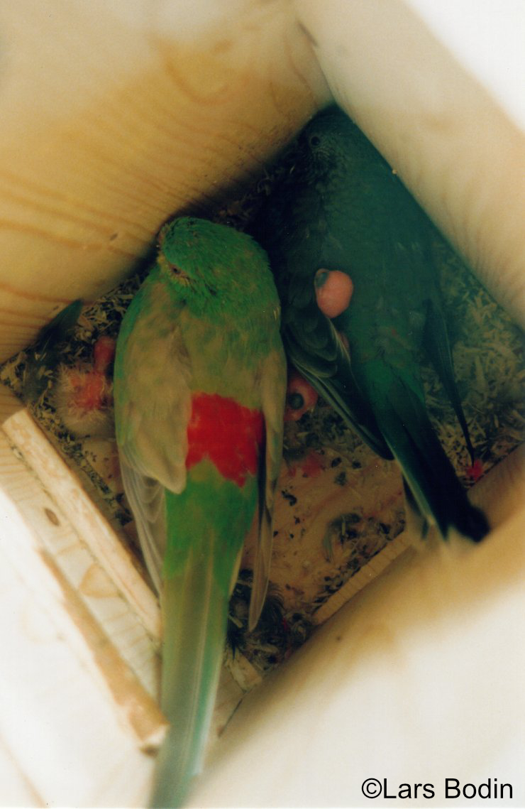 Psephotus haematonotus - Red-rumped Parrot. Copyright © Lars Bodin